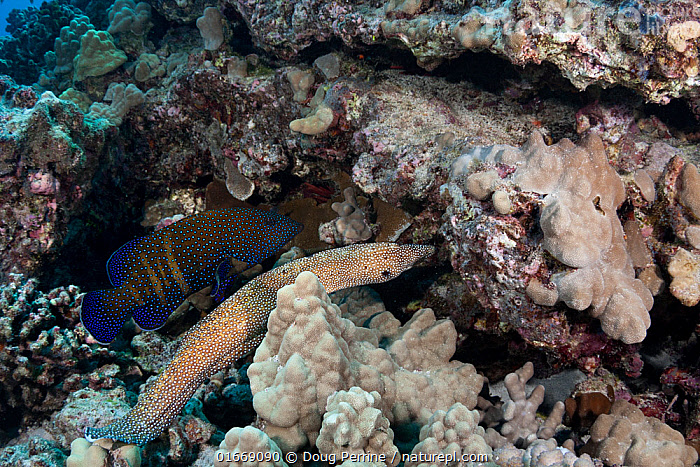 Hunting coalition of Peacock grouper, (Cephalopholis argus) and Whitemouth moray eel, (Gymnothorax meleagris)